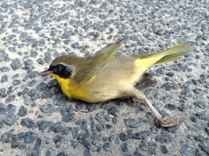 This Common Yellowthroat bird was found near the Fitzpatrick Center on Duke's campus.